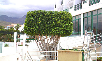 GREENGO Tenerife tree cutting